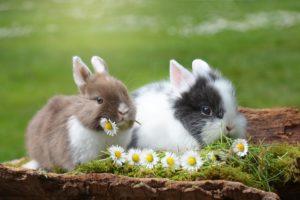 Les différentes races de lapin de compagnie
